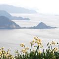 写真: 白崎:番所山のスイセン