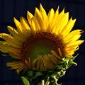 写真: 夕暮れの向日葵