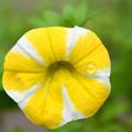 写真: 黄色の泪