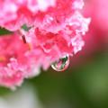 雨の百日紅