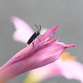 写真: ピンクの翅が
