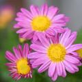 写真: ピンクの鍔迫り合い
