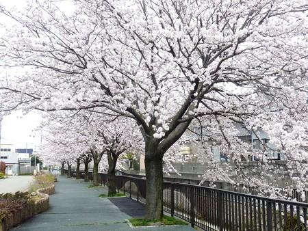 1a用水端桜満開