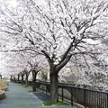 写真: 1a用水端桜満開
