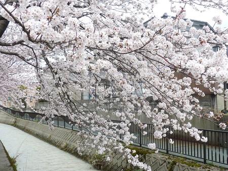 1b用水端桜満開