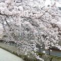 写真: 1b用水端桜満開