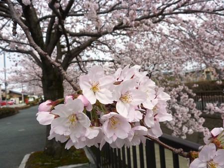 1c用水端桜満開