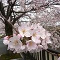 写真: 1c用水端桜満開