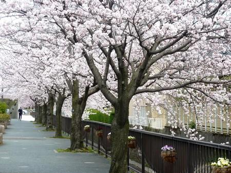 1d用水端桜満開