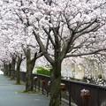 写真: 1d用水端桜満開