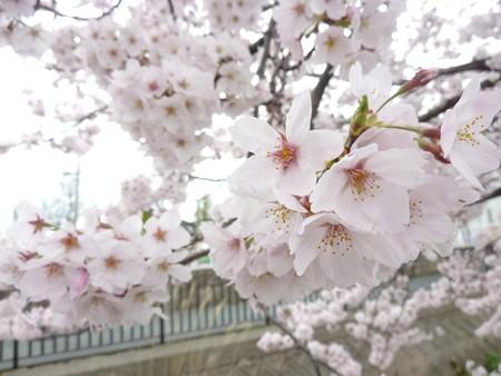 1e用水端桜満開
