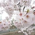 写真: 1e用水端桜満開