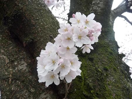 1j用水端桜満開