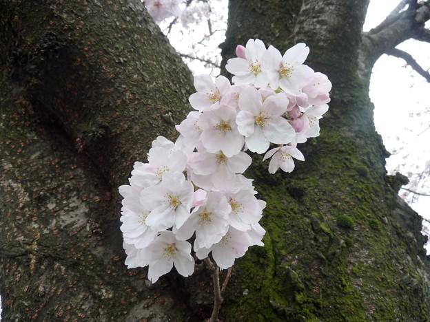 写真: 1j用水端桜満開