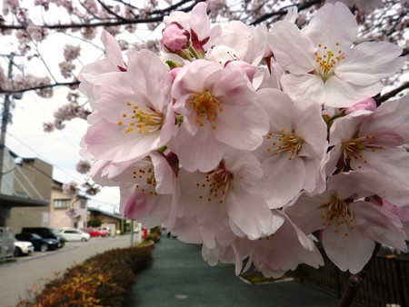 1k用水端桜満開