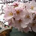 写真: 1k用水端桜満開