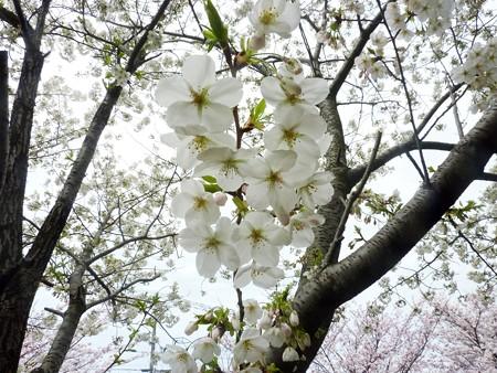 1l用水端桜満開