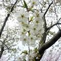 写真: 1l用水端桜満開