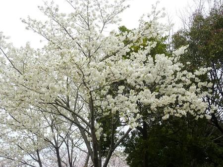 1n用水端桜満開