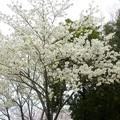 写真: 1n用水端桜満開