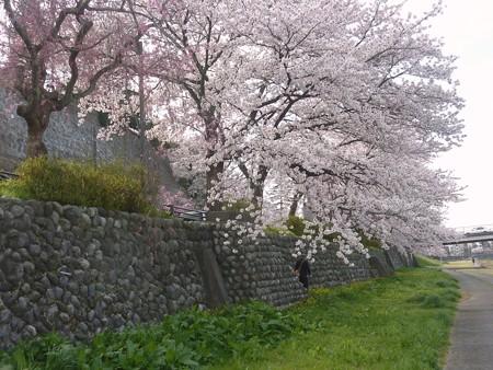 11、寺町〜犀川の桜