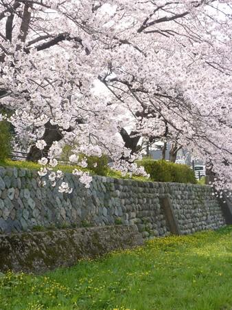 12、寺町〜犀川の桜