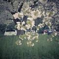 GR2遅咲き桜