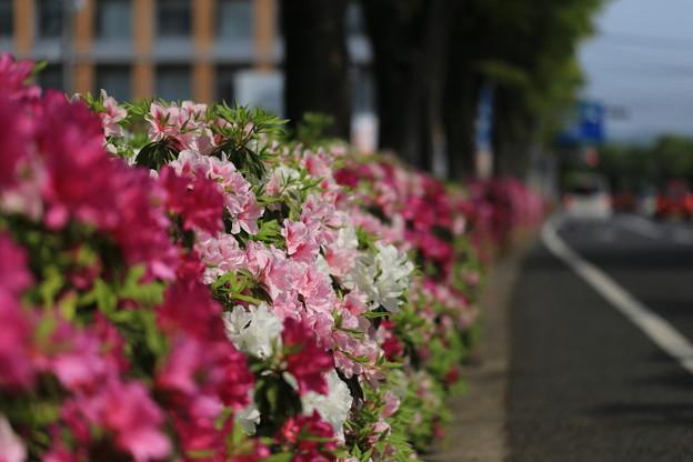 Photos: つつじ