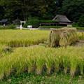 Photos: 後楽園稲刈り