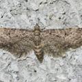 未同定 Eupithecia sp. ナミシャク亜科 20130325-5