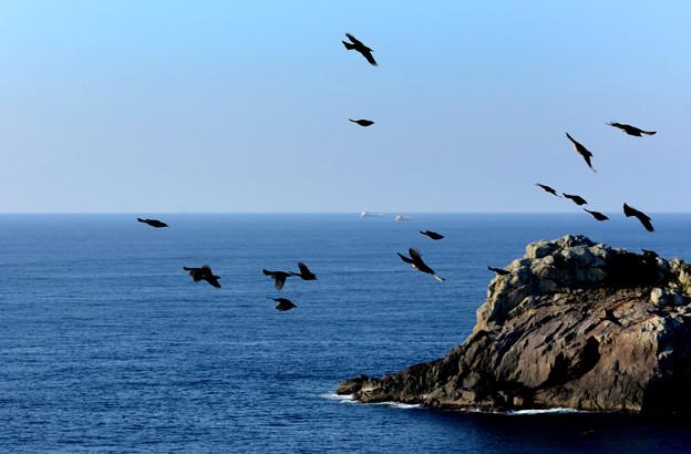 海金剛鷹ノ巣を飛ぶイソヒヨドリの群れ