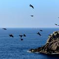 Photos: 海金剛鷹ノ巣を飛ぶイソヒヨドリの群れ
