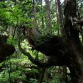写真: 株杉の森