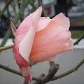 写真: 0100107rose 066