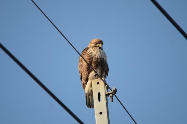 週末に逢えたノスリ♪ 新鹿沼駅近くの線路沿いの電柱でのんびりモード。