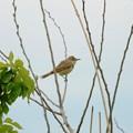 枝にとまるオオヨシキリ
