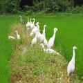 畦道のアマサギたち