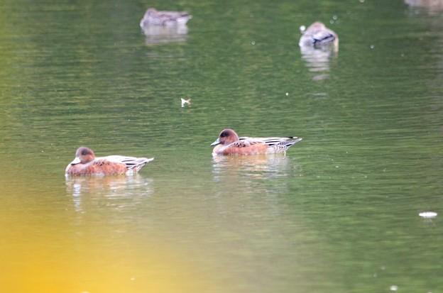 写真: 冬鳥来訪 ヒドリガモ