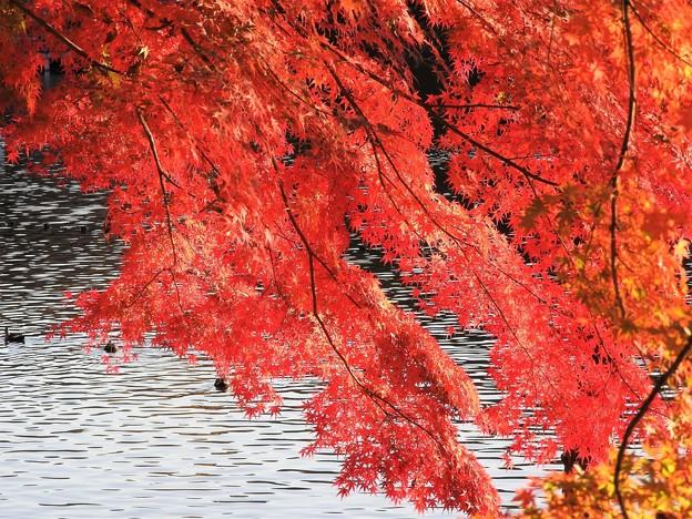 写真: 紅葉 真岡井頭公園