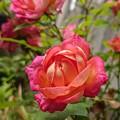 我が家のバラも咲きました!