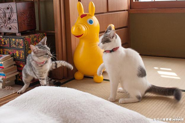 マンチカンももちゃん_猫写真002