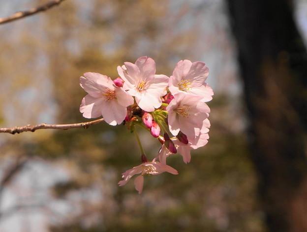 rs-170414_36_御殿場桜・SH(カタクリの里) (1)