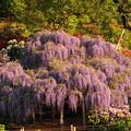 rs-150502_SH21_藤の花(足利フラワーパーク) (5)