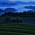 写真: 茶畑と雲海に浮かぶ富士