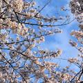Photos: 府中の森公園☆桜♪