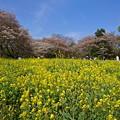 写真: 菜の花と最後の桜
