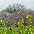菜の花と最後の桜