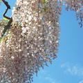 写真: ピンクの藤の花