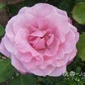 写真: 桃香-japan