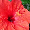 雨の日のハイビスカス
